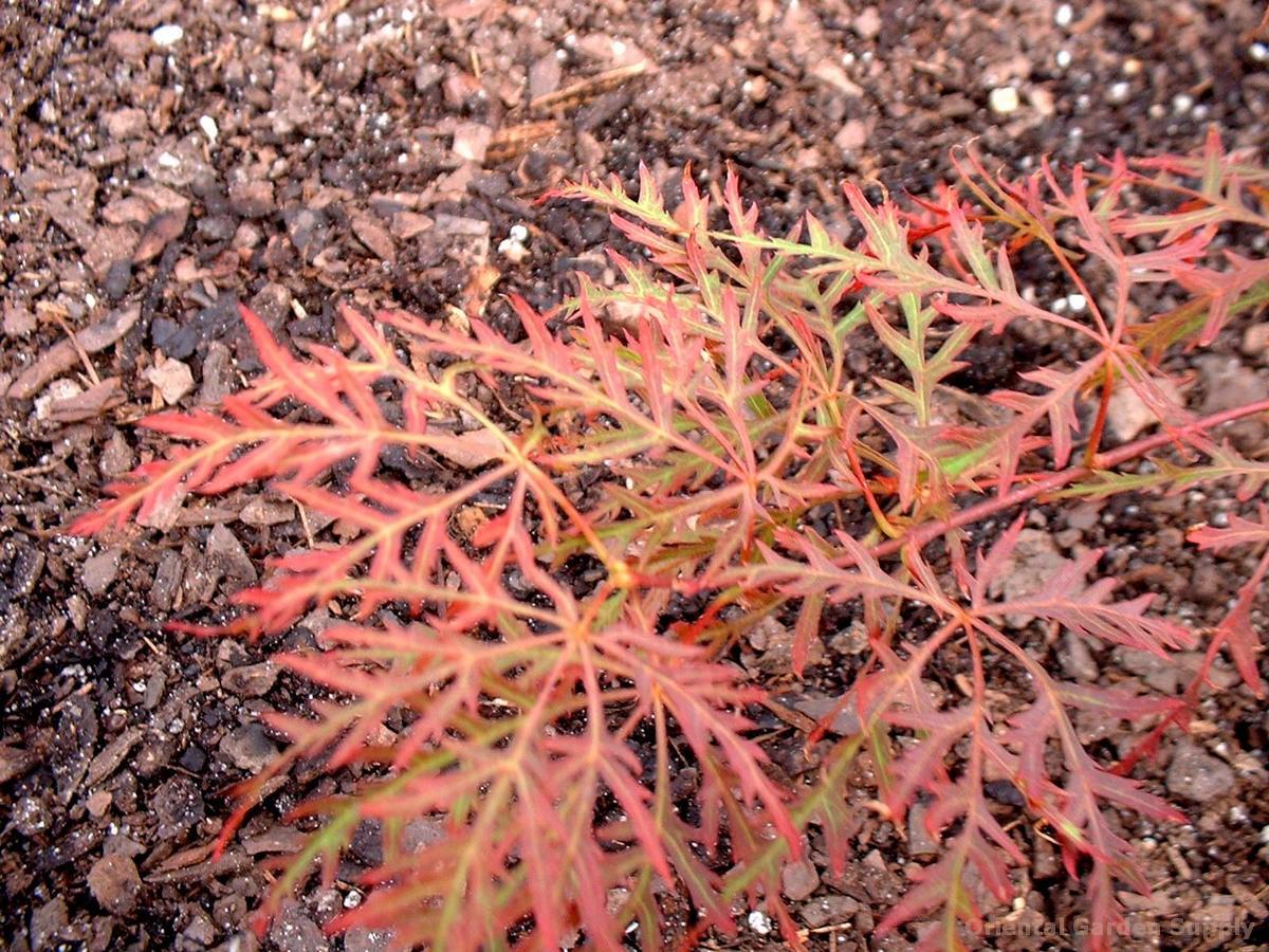 Acer palmatum dissectum 'Rariflora'