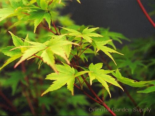 Acer palmatum 'Filifera purpureum'