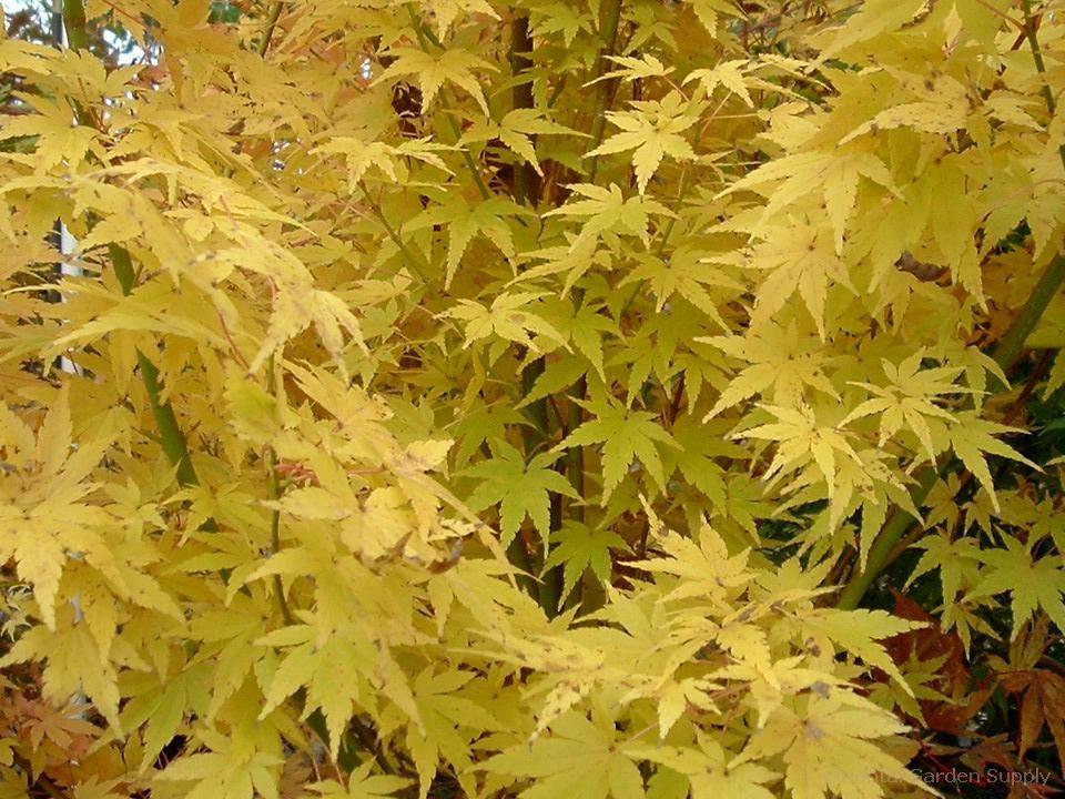 Acer palmatum 'Fjellheim'