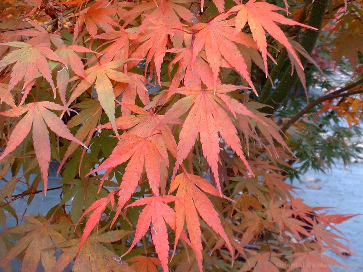 Acer palmatum 'Ibo nishiki'