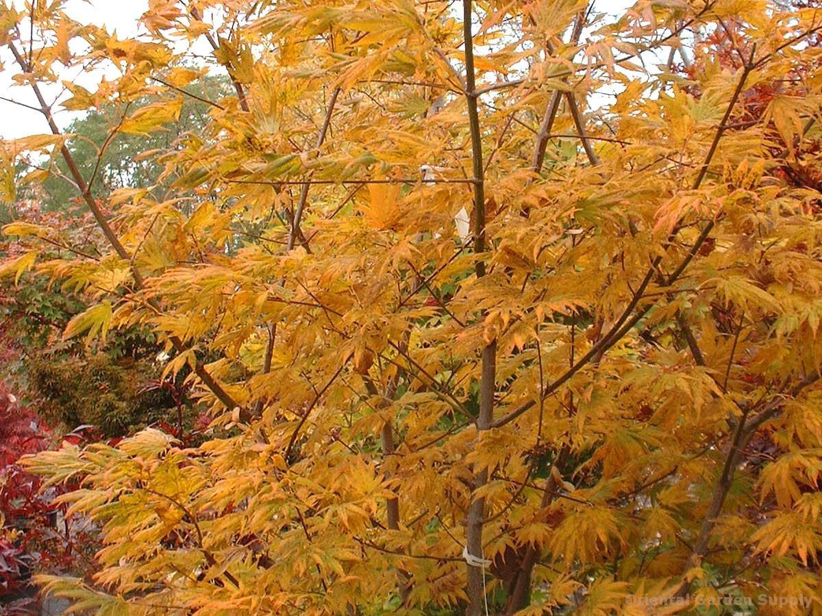 Acer palmatum 'Johin' - seedling