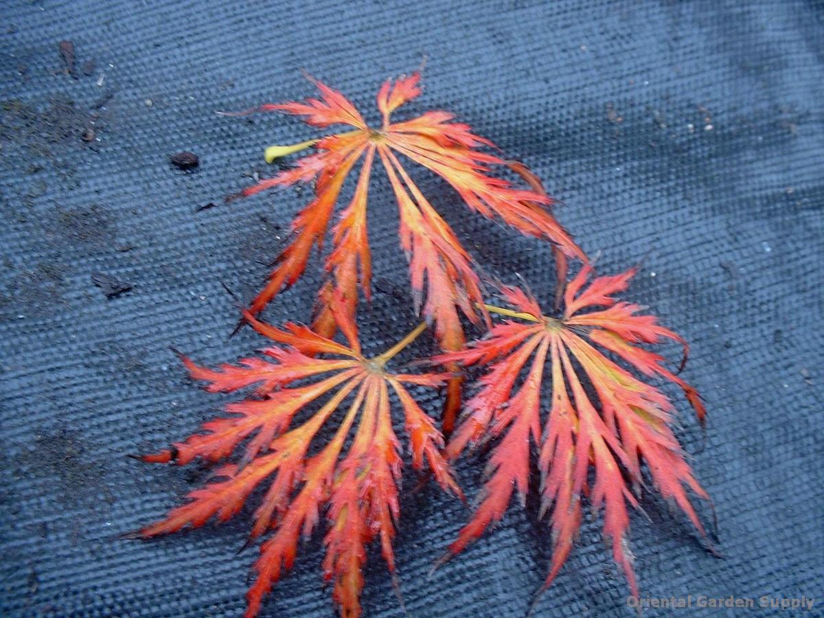 Acer palmatum 'Kawaii'