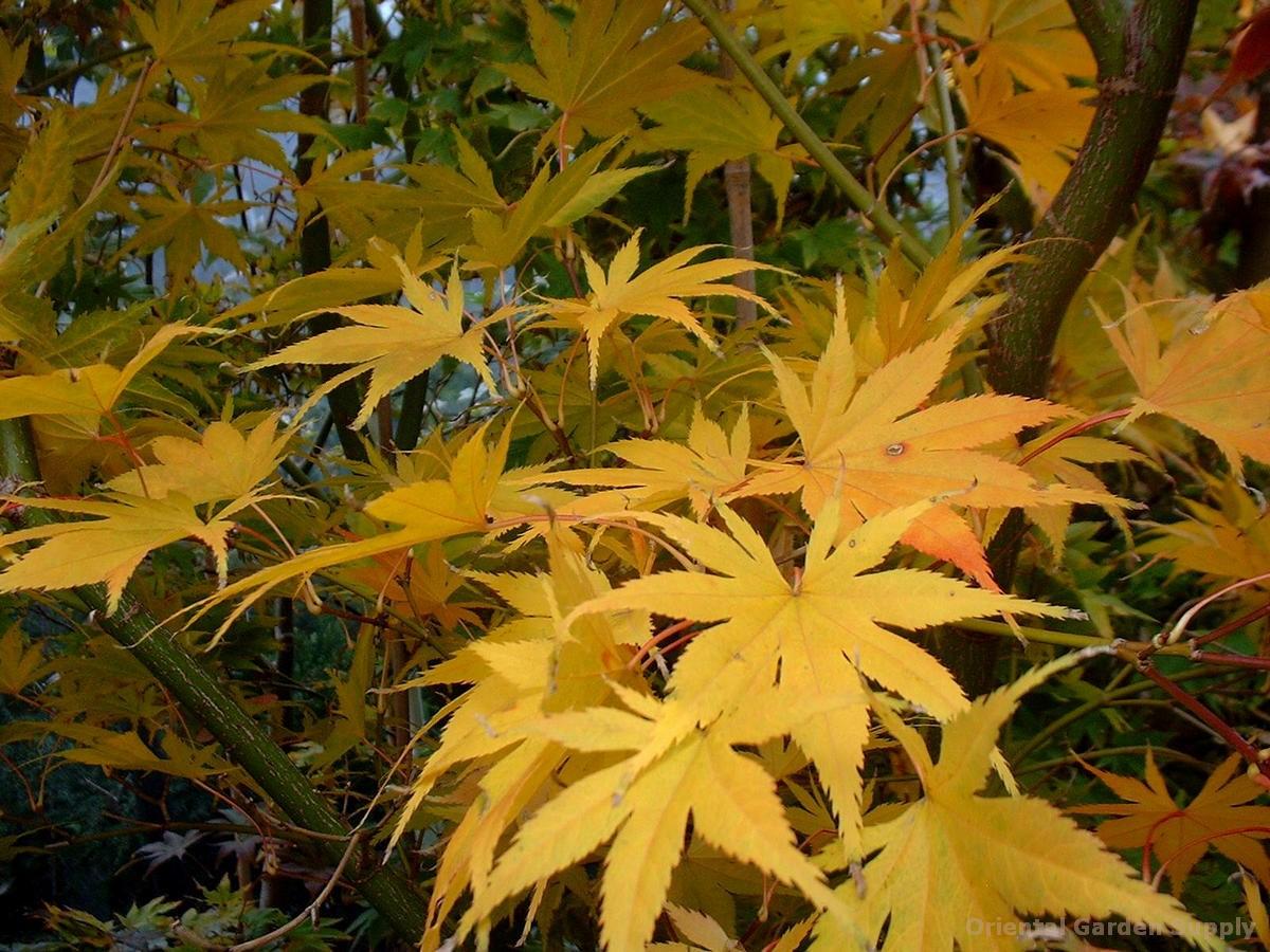 Acer palmatum 'Ki hachijo'
