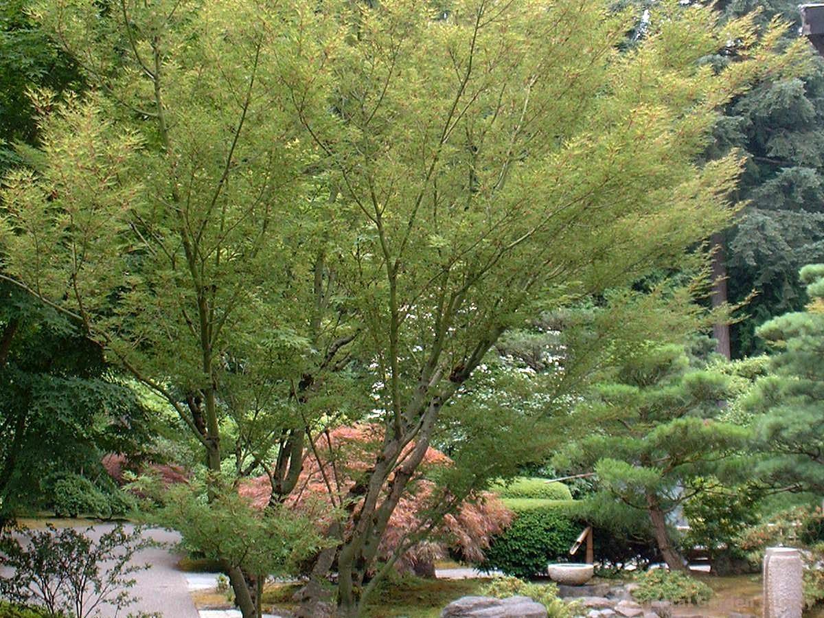 Acer palmatum 'Kurui jishi'
