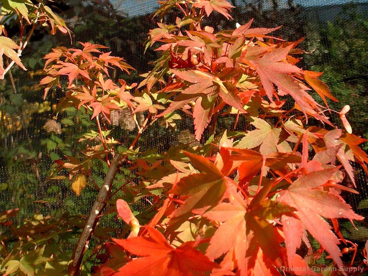 Acer palmatum 'Matsugae'