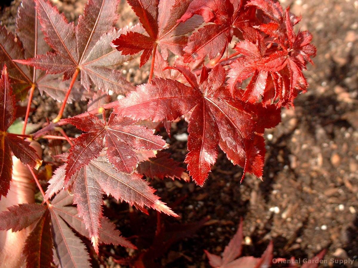 Acer palmatum 'Okagami'
