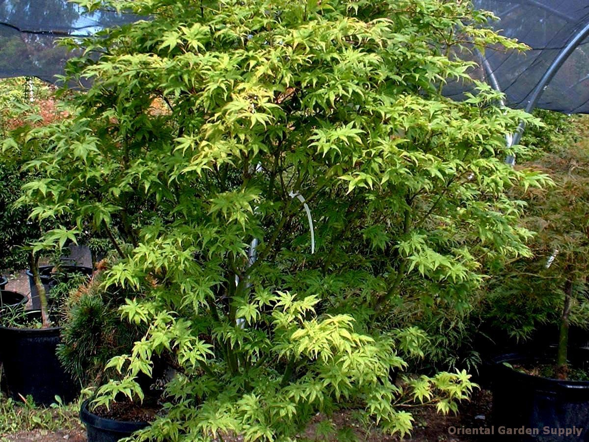 Acer palmatum 'Peaches & Cream'