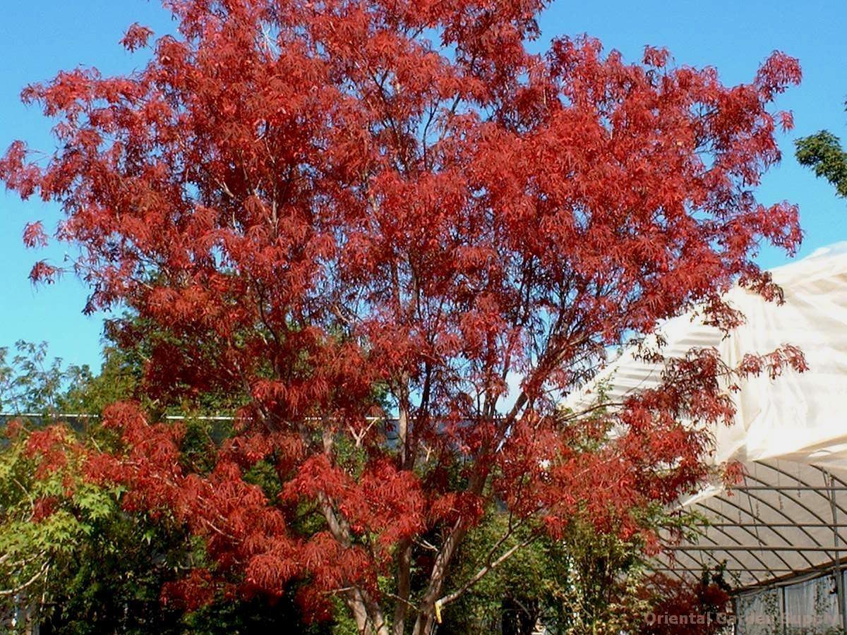 Acer palmatum 'Scolopendrifolium Rubrum'