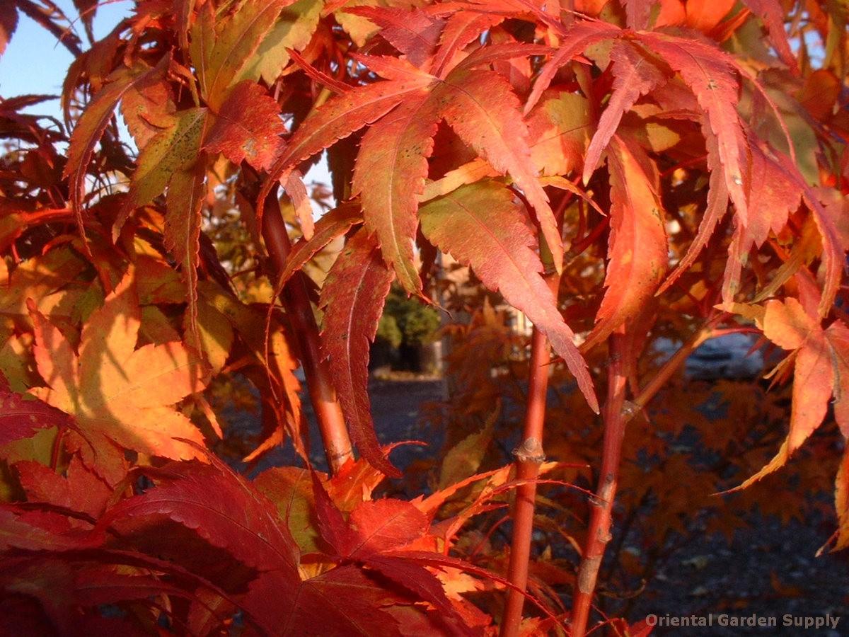 Acer palmatum 'Sekka yatsubusa'