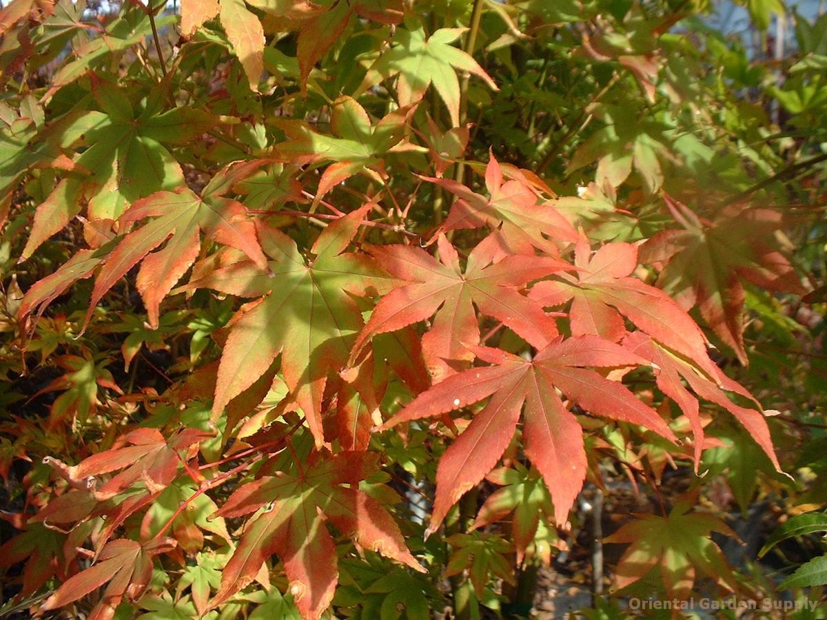 Acer palmatum 'Shishio Improved'
