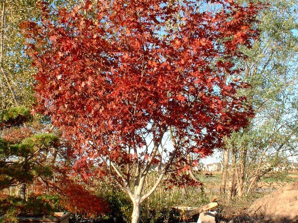 Acer palmatum 'Shojo nomura'