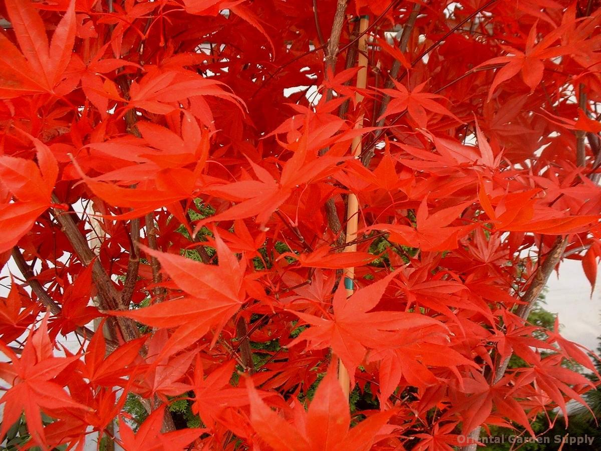 Acer palmatum 'Superbum'