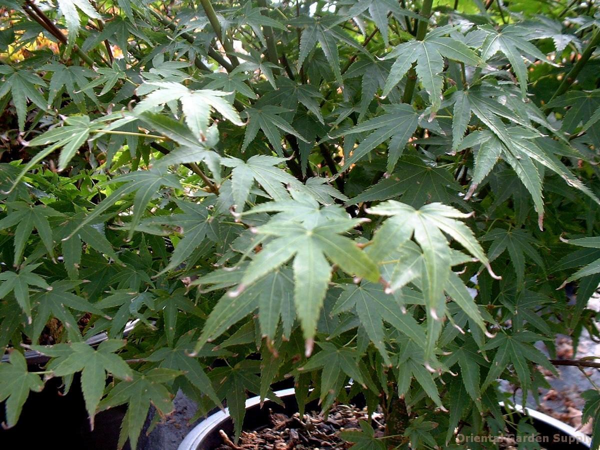 Acer palmatum 'Tamahime'