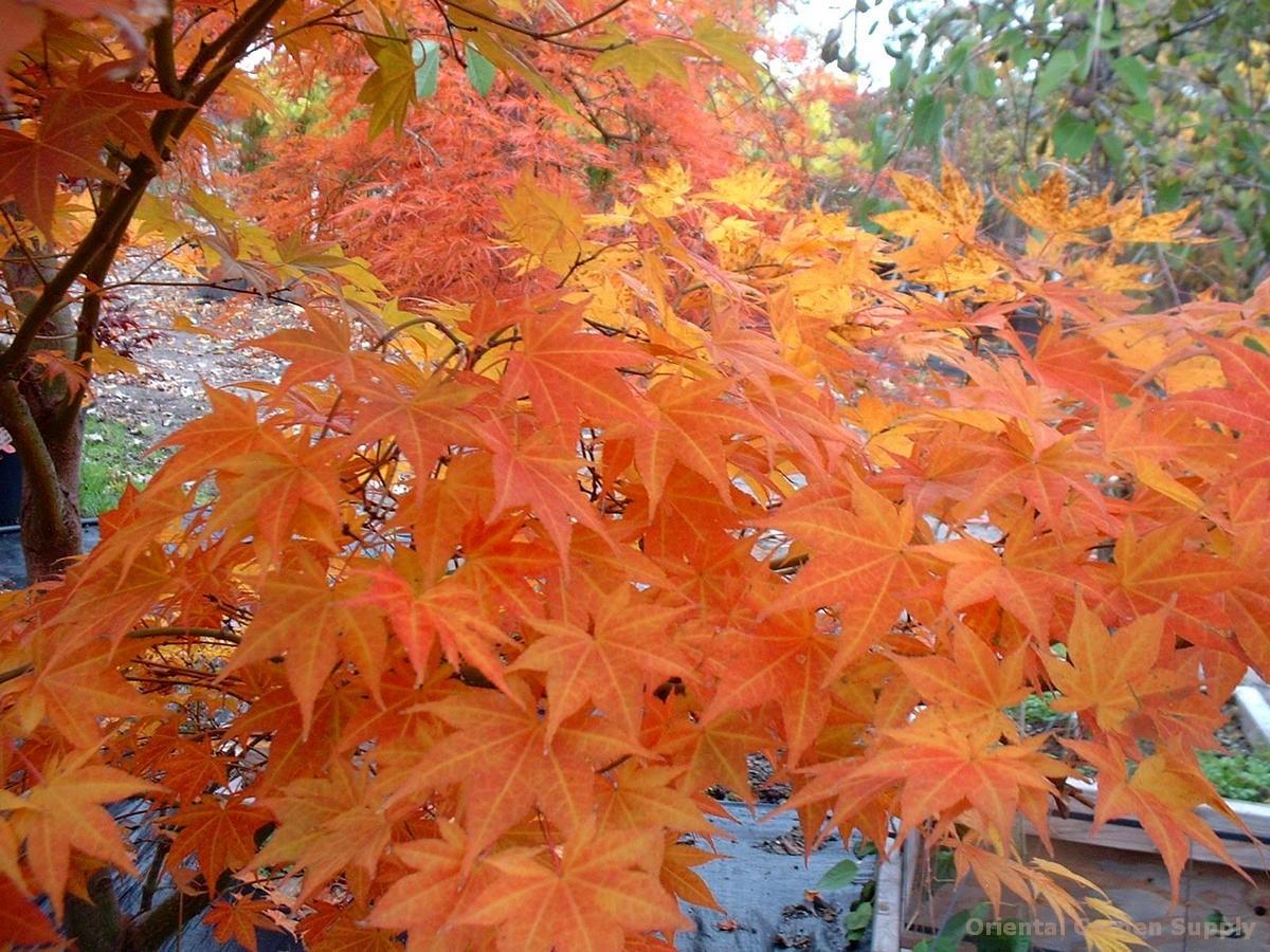Acer palmatum 'Tsukushigata'