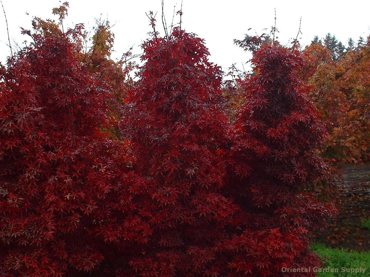 Acer palmatum 'Twombly Red Sentinel'