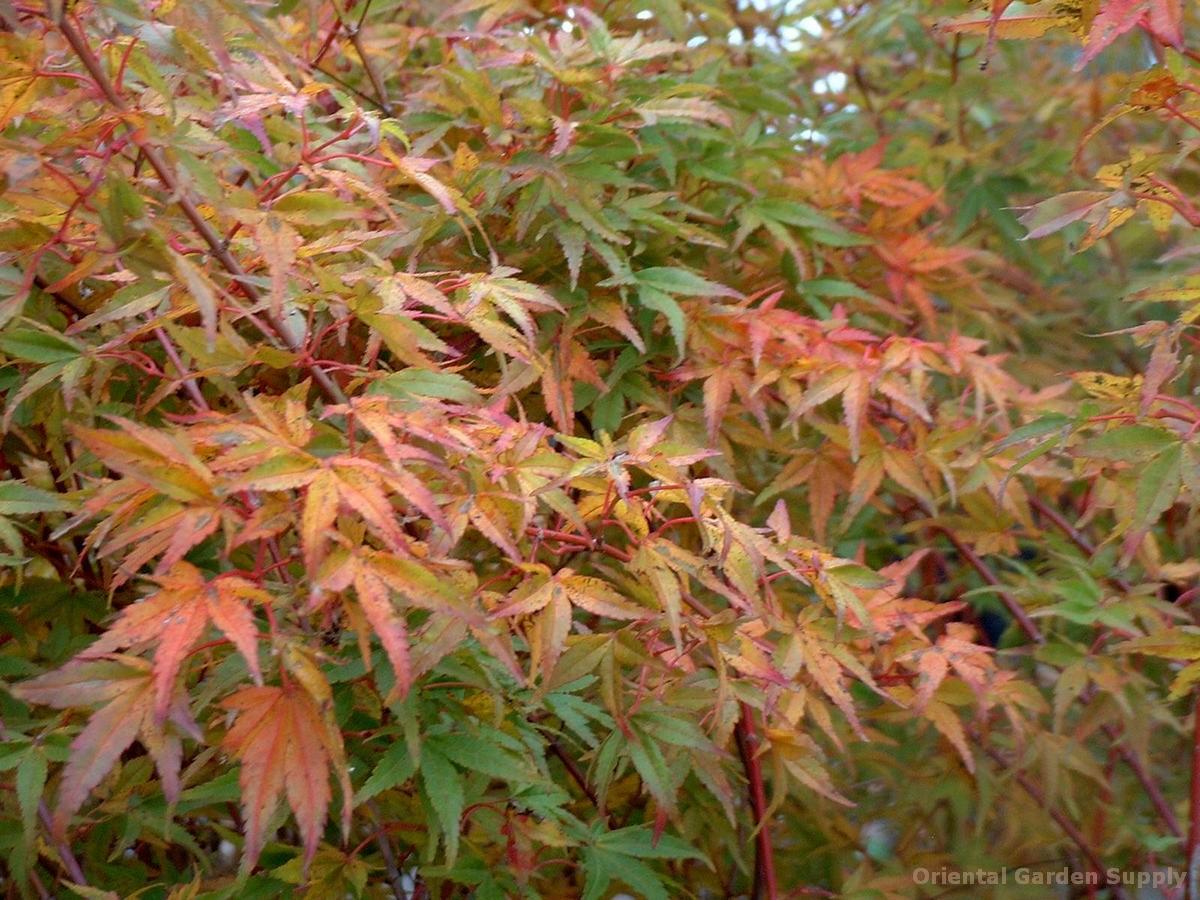 Acer palmatum 'Ueno yama'