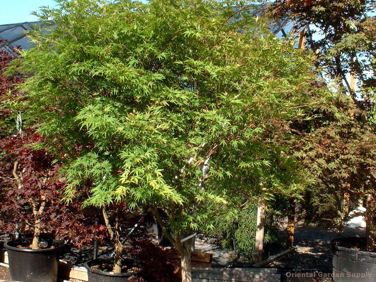 Acer palmatum 'Wou nishiki'