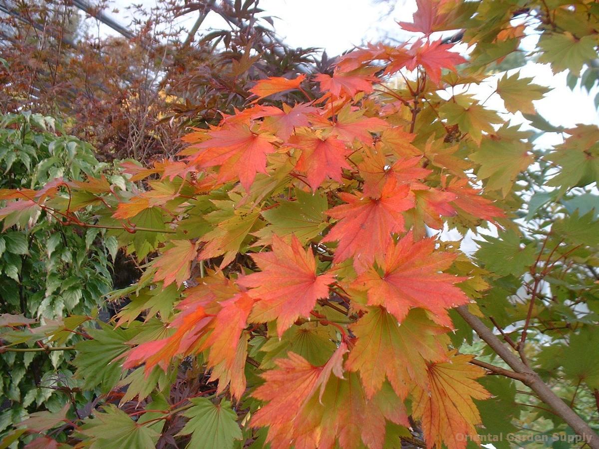 Acer shirasawanum 'Aureum' - seedling