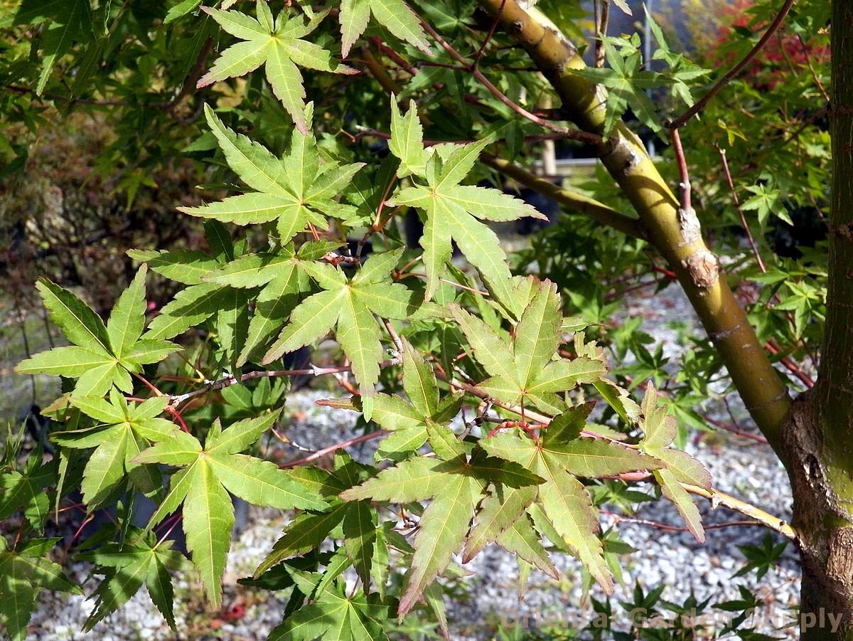 Acer palmatum 'Calico'