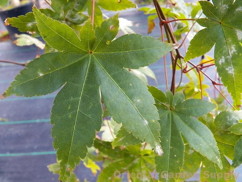 Acer palmatum 'Chishio Improved'