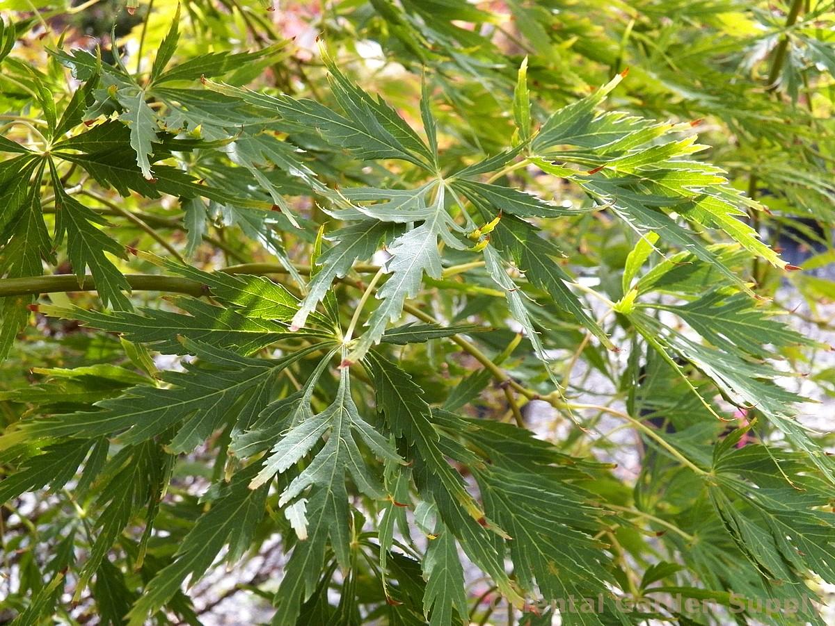 Acer palmatum dissectum 'Contorta'