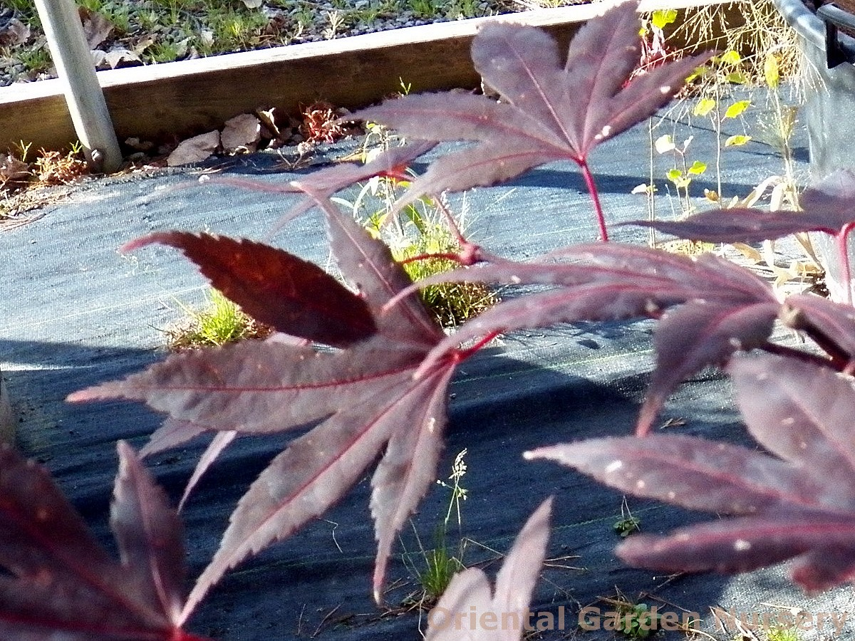 Acer palmatum 'Crimson Prince'- multistem