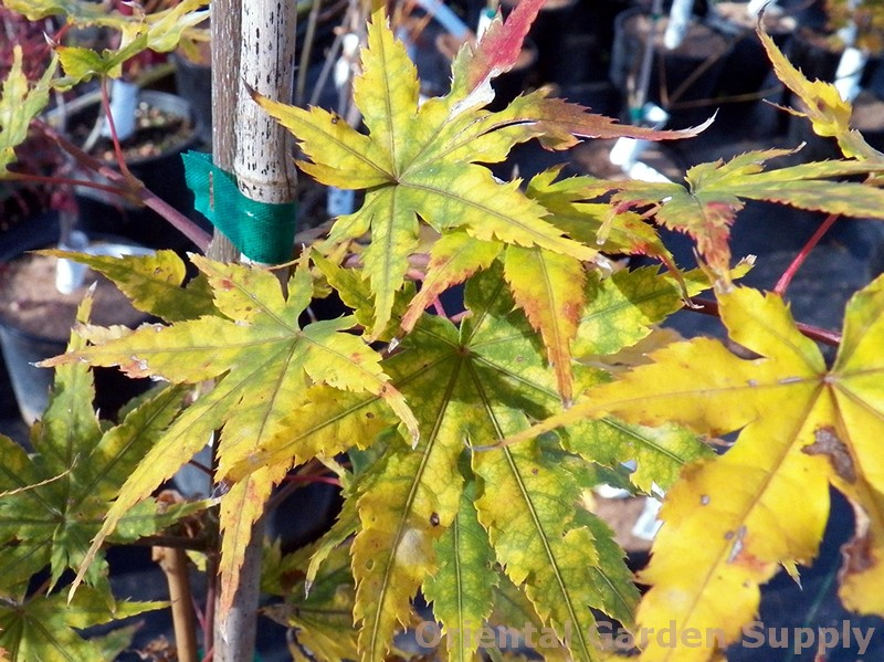 Acer palmatum 'Ghost Dancer'