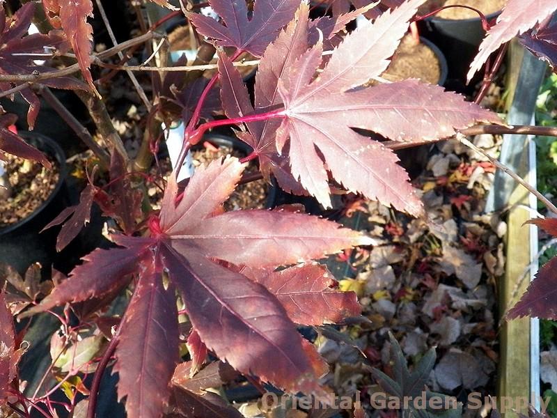 Acer palmatum 'Lazy Leaf'