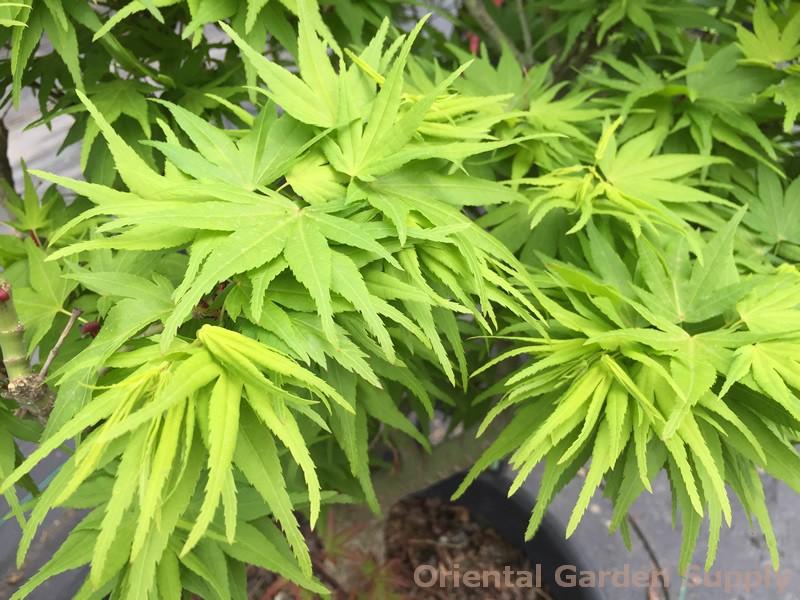 Acer palmatum 'Mikawa yatsabusa'