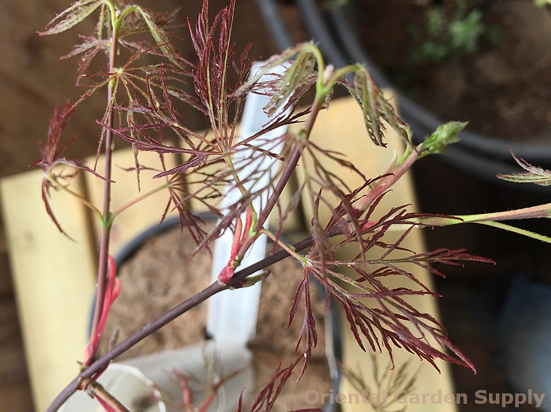 Acer palmatum dissectum 'Red Feather'