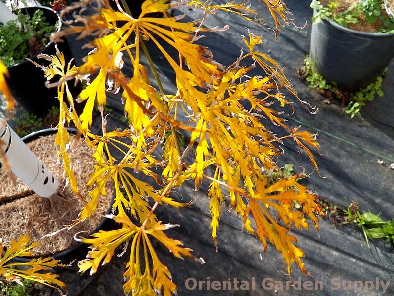 Acer palmatum dissectum 'Roseomarginatum'