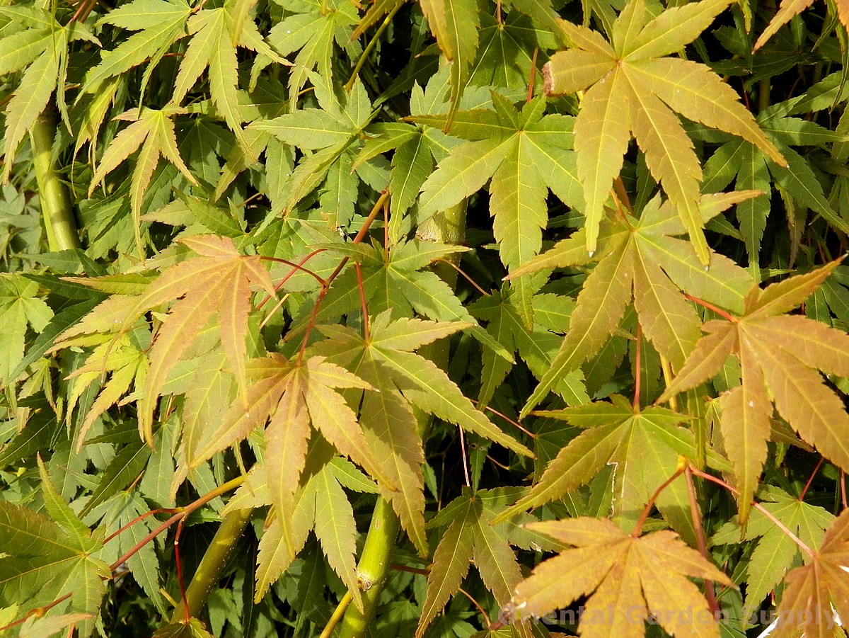 Acer palmatum 'Ryu sei'