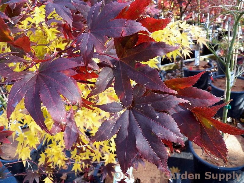 Acer palmatum 'Samurai Sword'