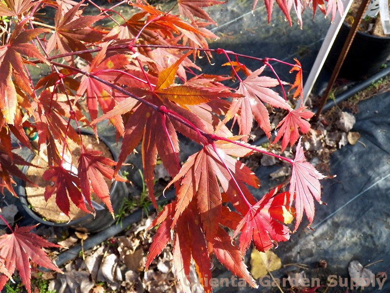 Acer palmatum 'Shira Red'
