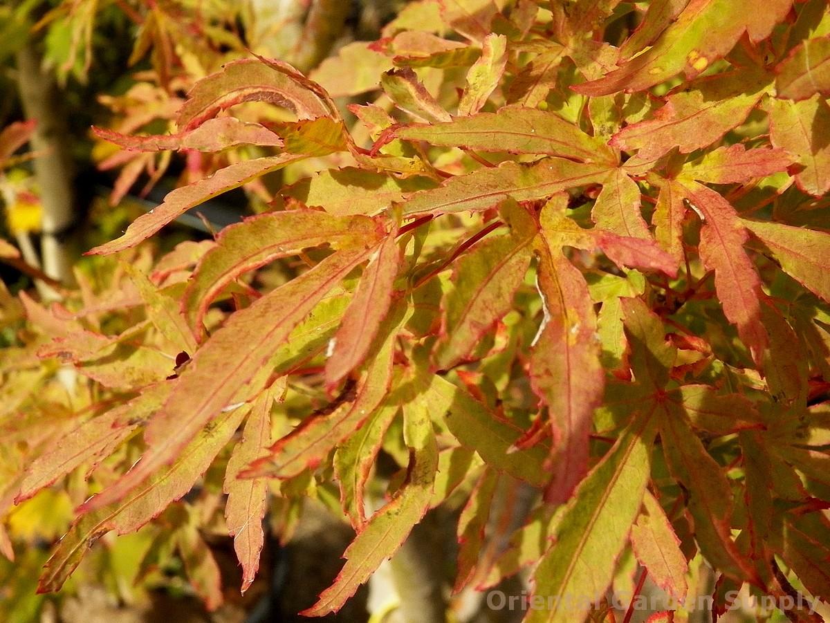 Acer palmatum 'Tennyo no hishi'