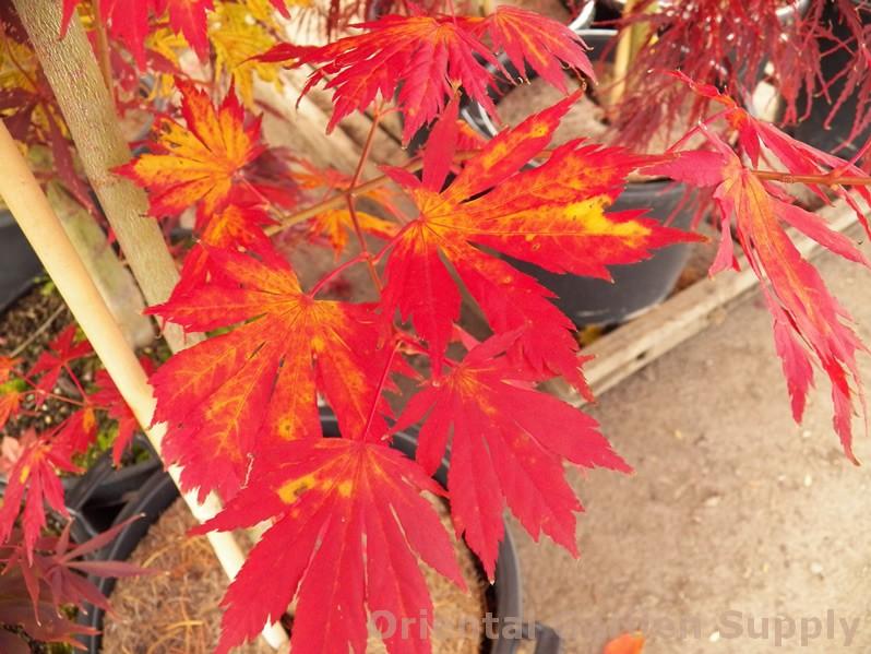 Acer pseudosieboldianum 'North Wind'