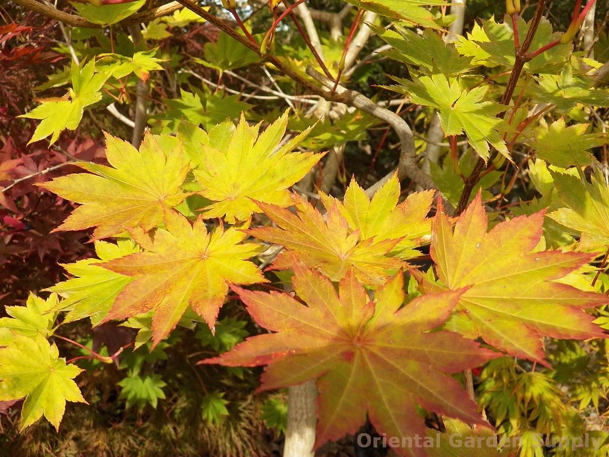 Acer shirasawanum 'Microphyllum'