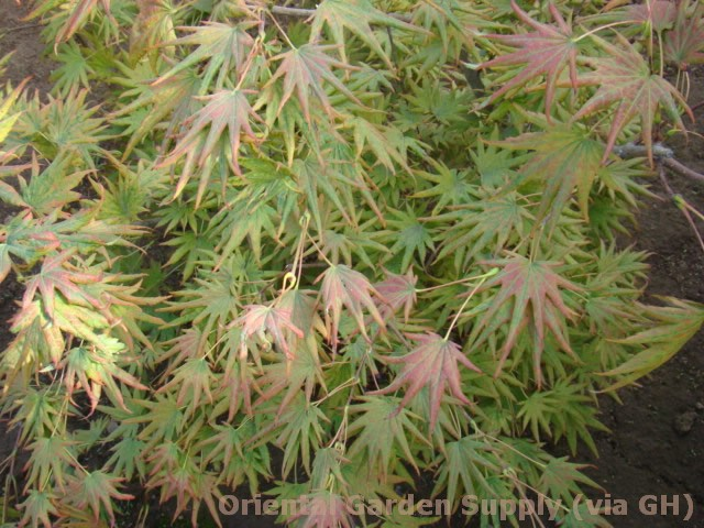 Acer shirasawanum 'Mr. Sun'
