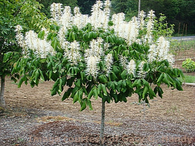 Aesculus parviflora 'Rogers'