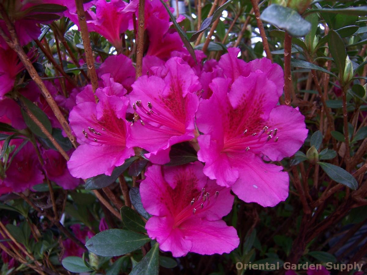 Azalea 'Girard Fuchsia'