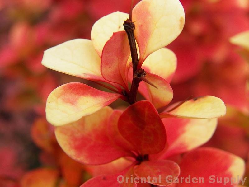 Berberis thunbergii 'Gold Pillar'