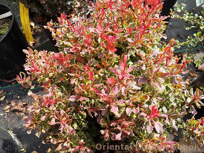 Berberis thunbergii 'Golden Ruby'