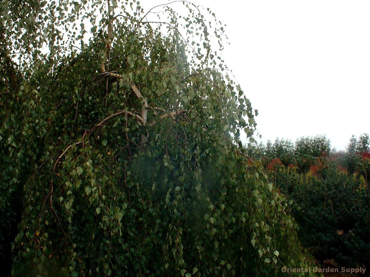 Betula pendula 'Youngii'
