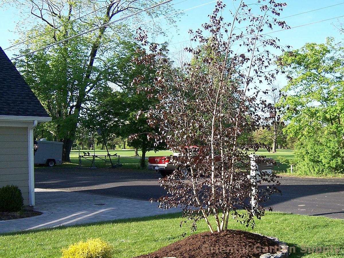 Betula nigra 'Royal Frost'
