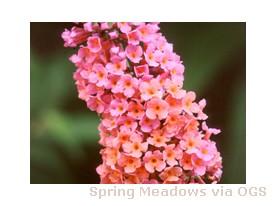 Buddleia x weyeriana 'Bicolor'