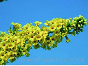 Buddleia x weyeriana 'Honeycomb'