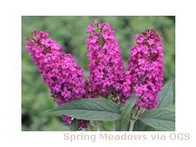 Buddleia x weyeriana 'Miss Ruby'