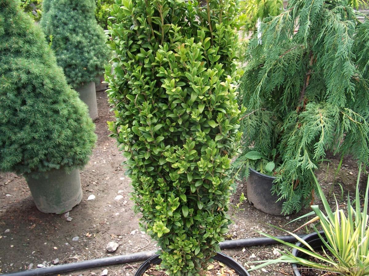 Buxus sempervirens 'Graham Blandy'