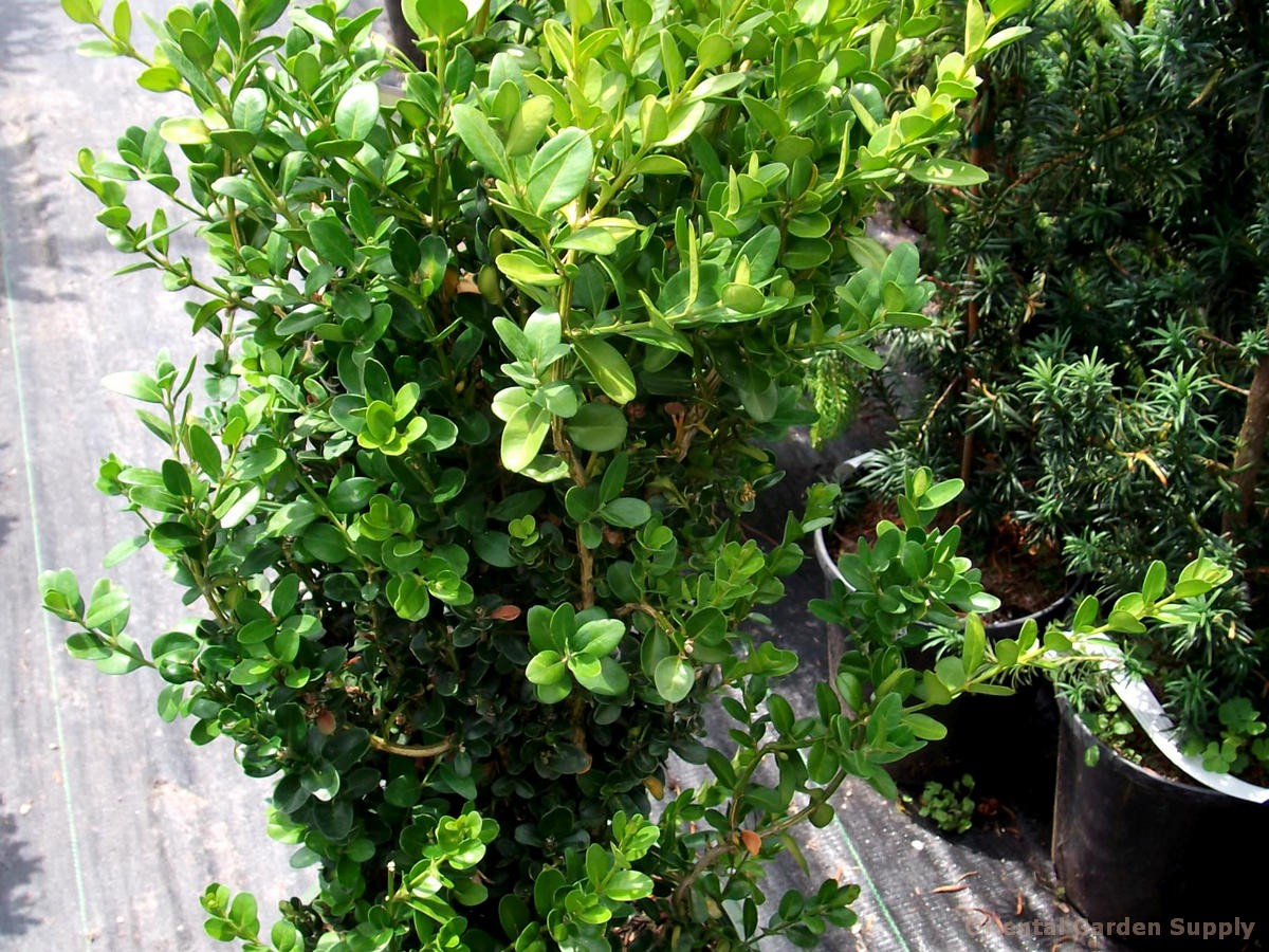 Buxus var. koreana x sempervirens 'Green Tower'