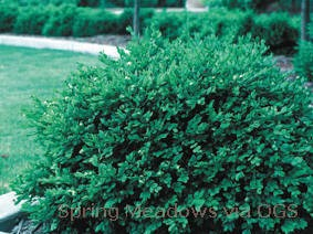 Buxus var. koreana x sempervirens 'Green Velvet'